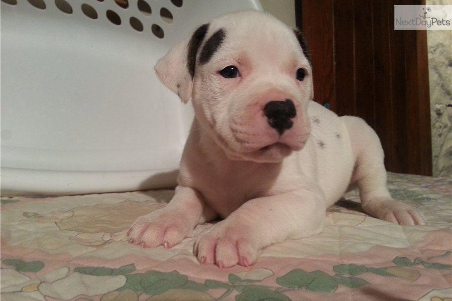 Cute American Bulldog Puppies: Cute Bdbc Breed