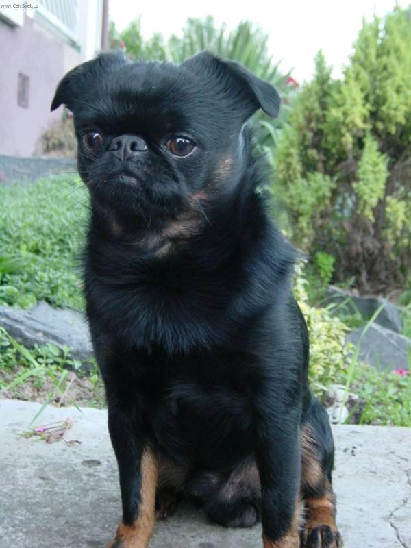 Cute Alpine Dachsbracke Puppies: Cute Black Alpine Dachsbracke Puppy Breed