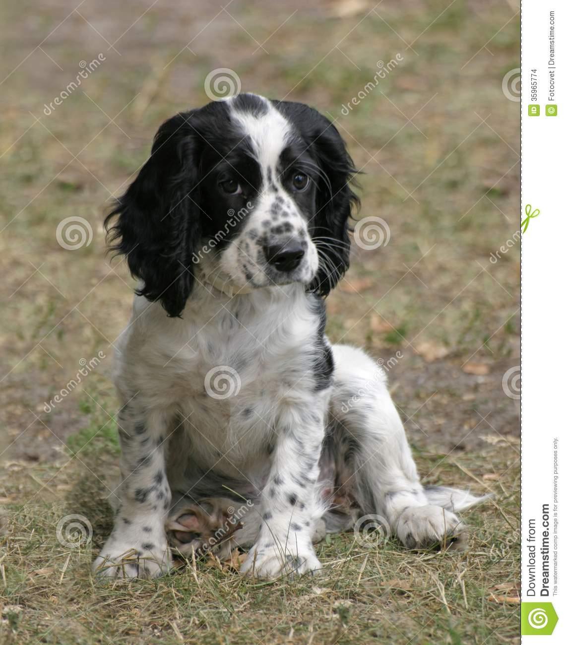 Russian Spaniel Puppies: Cute Black Cocker Spaniel Puppies Breed