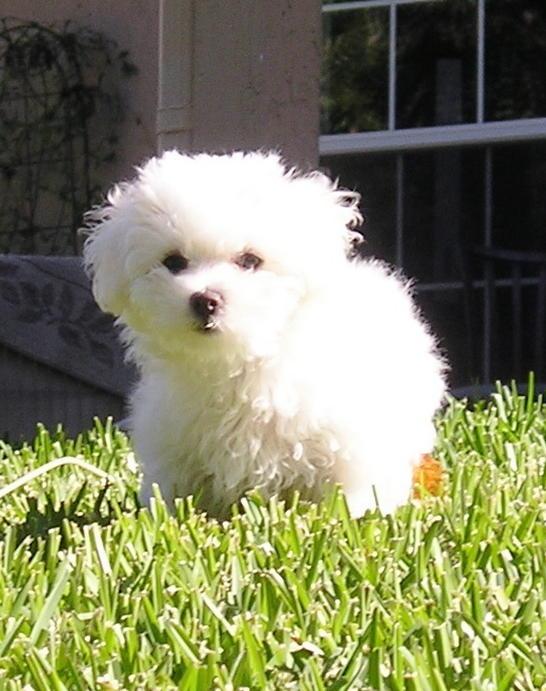 Cute Armenian Gampr Puppies: Cute Bolognese Puppies Breed