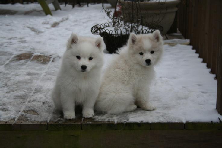 Cute American Eskimo Puppies: Cute Breed