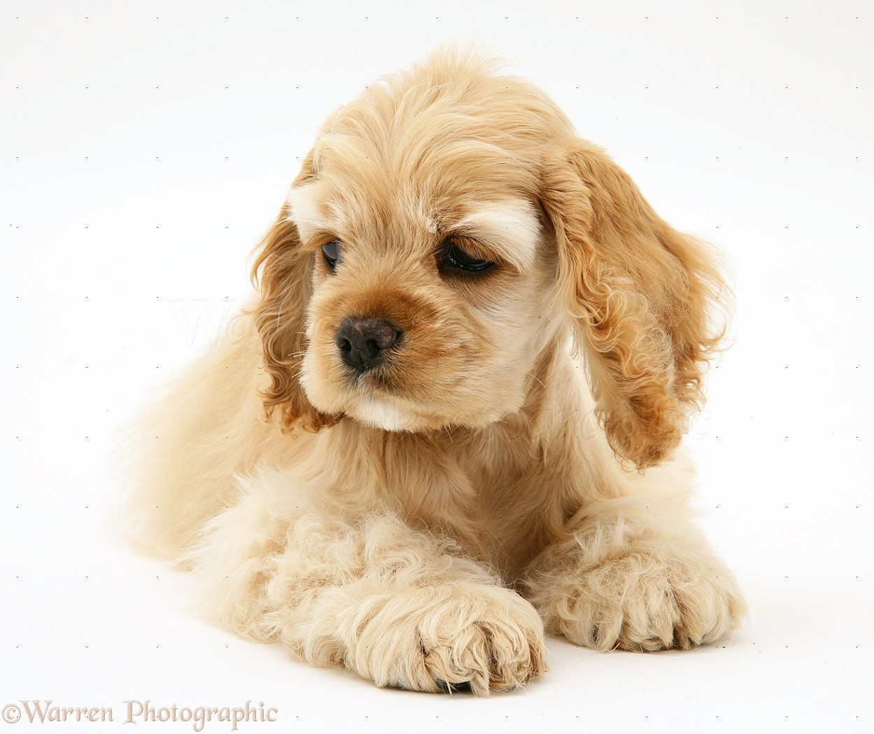 Cute American Cocker Spaniel Puppies: Cute Buff American Cocker Spaniel Pup Breed