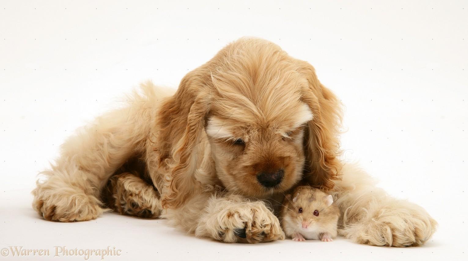 Cute American Cocker Spaniel Puppies: Cute Buff American Cocker Spaniel Pup With Hamster Breed