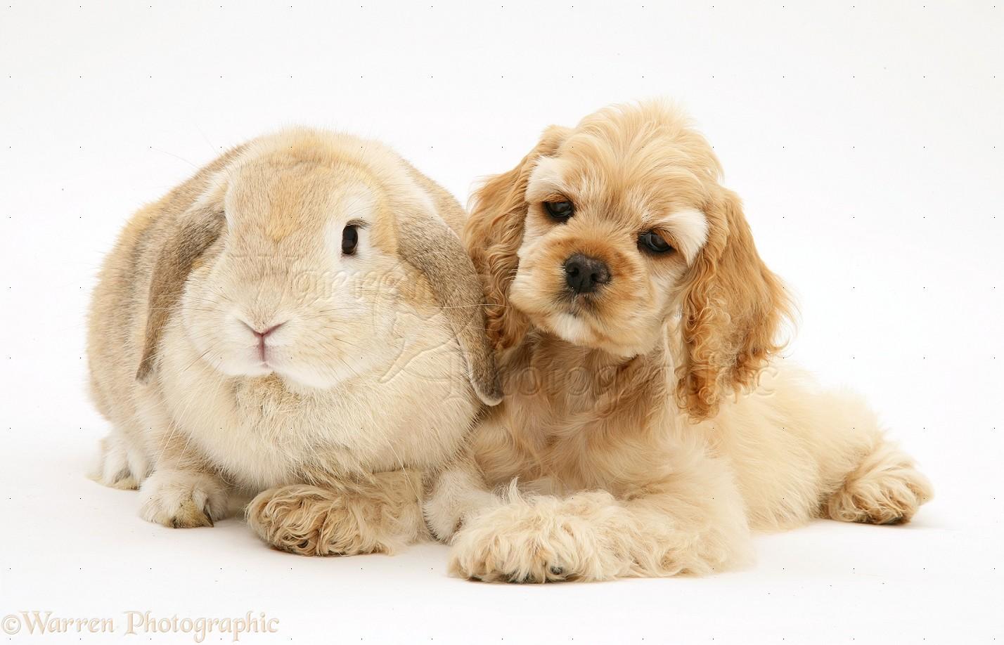 Cute American Cocker Spaniel Puppies: Cute Buff American Cocker Spaniel Pup With Rabbit Breed