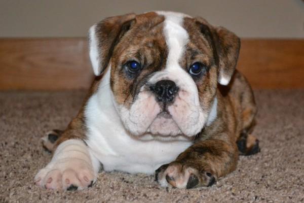 Cute American Bulldog Puppies: Cute Bulldog Puppies Breed