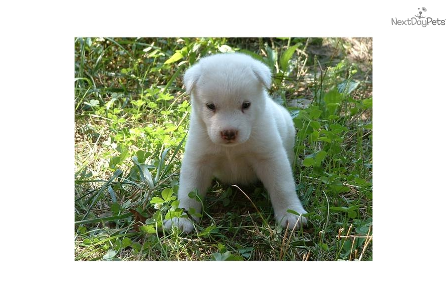 Cute American Akita Puppies: Cute Caf Cb Breed