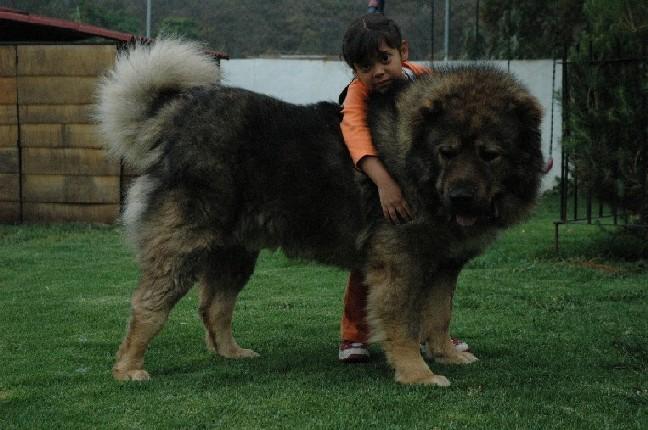 Cute Armenian Gampr Puppies: Cute Caucasian Shepherdcaucasian Ovcharka Breed