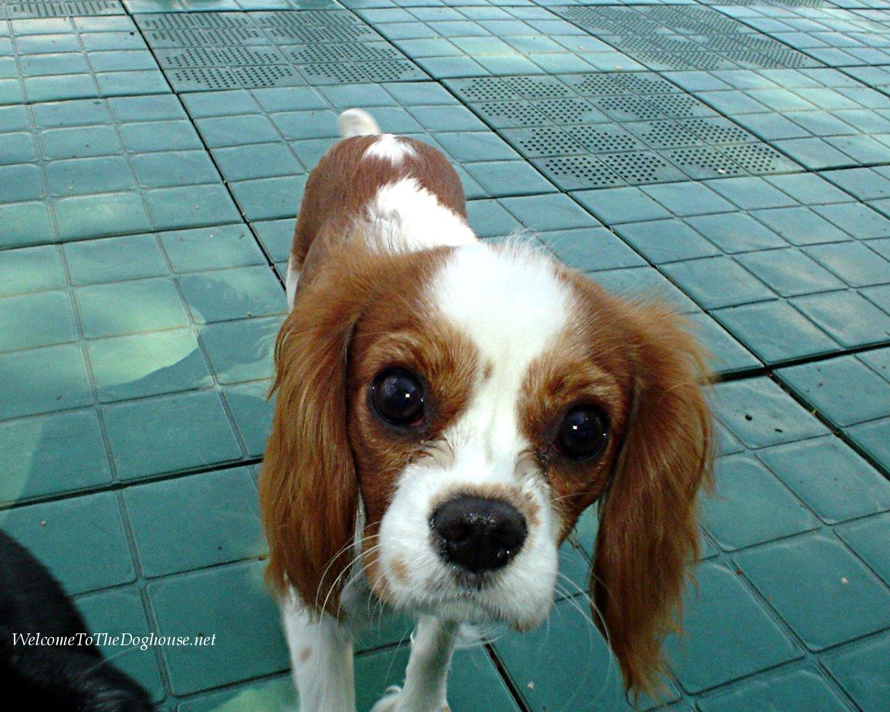 Cute Alpine Spaniel Puppies: Cute Cavalier King Charles Spaniel Dog Breed