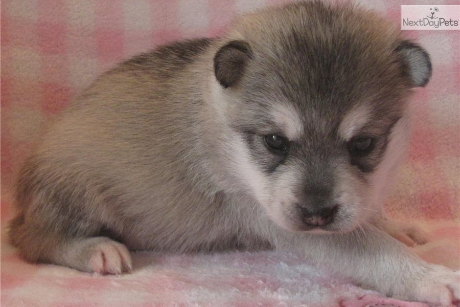 Cute Alaskan Klee Kai Puppies: Cute Cdn Breed