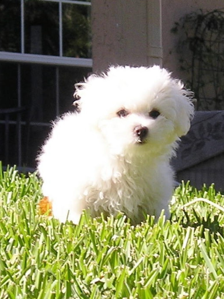 Cute Aidi Puppies: Cute Cute Aidi Puppy Breed