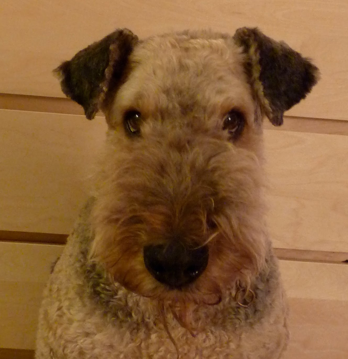 Cute Airedale Terrier Puppies: Cute Cute Airedale Terrier Rocky Breed