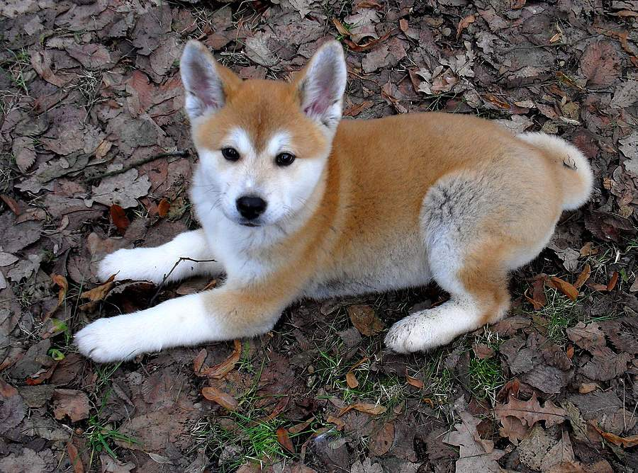 Cute Akita Inu Puppies: Cute Cute Akita Inu Puppy Lying On Autumn Leaves Puppies Breed