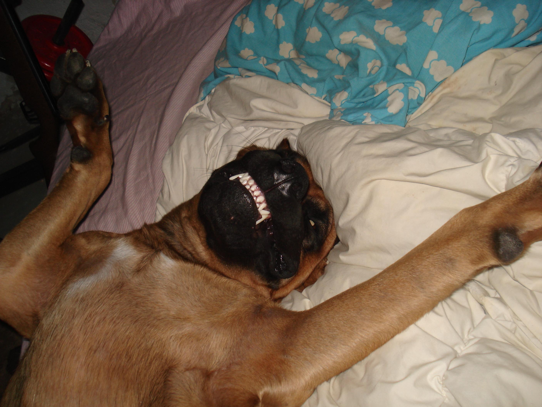 Cute Alano Español Puppies: Cute Cute Alano Espanol Zorro Breed