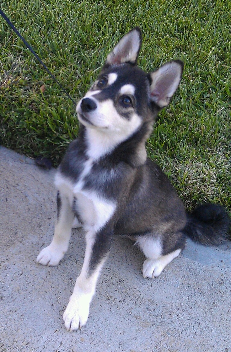 Cute Alaskan Klee Kai Puppies: Cute Cute Alaskan Klee Kai Puppies Breed