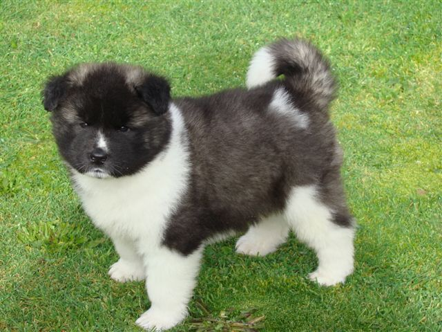 Cute American Akita Puppies: Cute Cute American Akita Puppies Pictures Breed