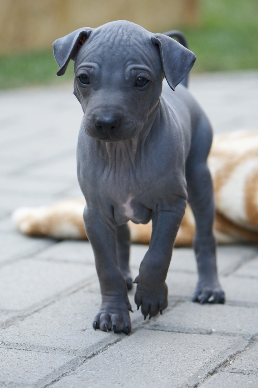 Cute American Hairless Terrier Puppies: Cute Cute American Hairless Terrier Puppy Breed