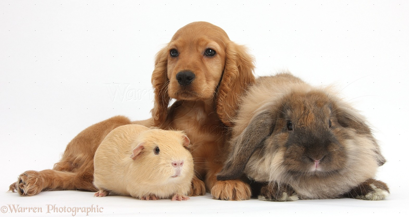 Cute Alpine Spaniel Puppies: Cute Cute Cocker Spaniel Dog And Funny Animal Picture Breed