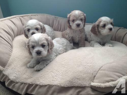 Cute American Cocker Spaniel Puppies: Cute Cute Cocker Spaniel Puppies Breed