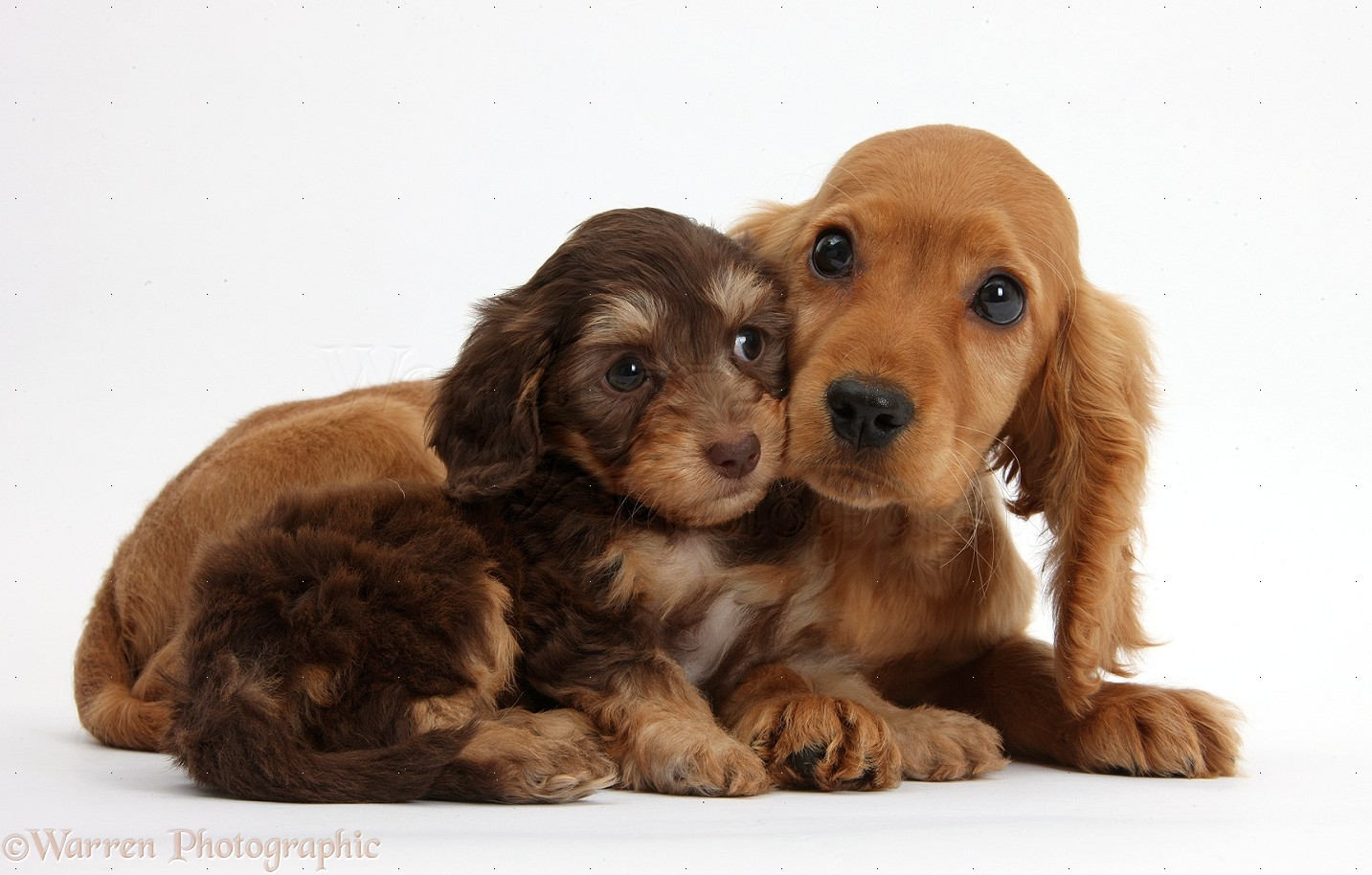 Cute American Cocker Spaniel Puppies: Cute Cute Daxiedoodle And Golden Cocker Spaniel Puppies Breed