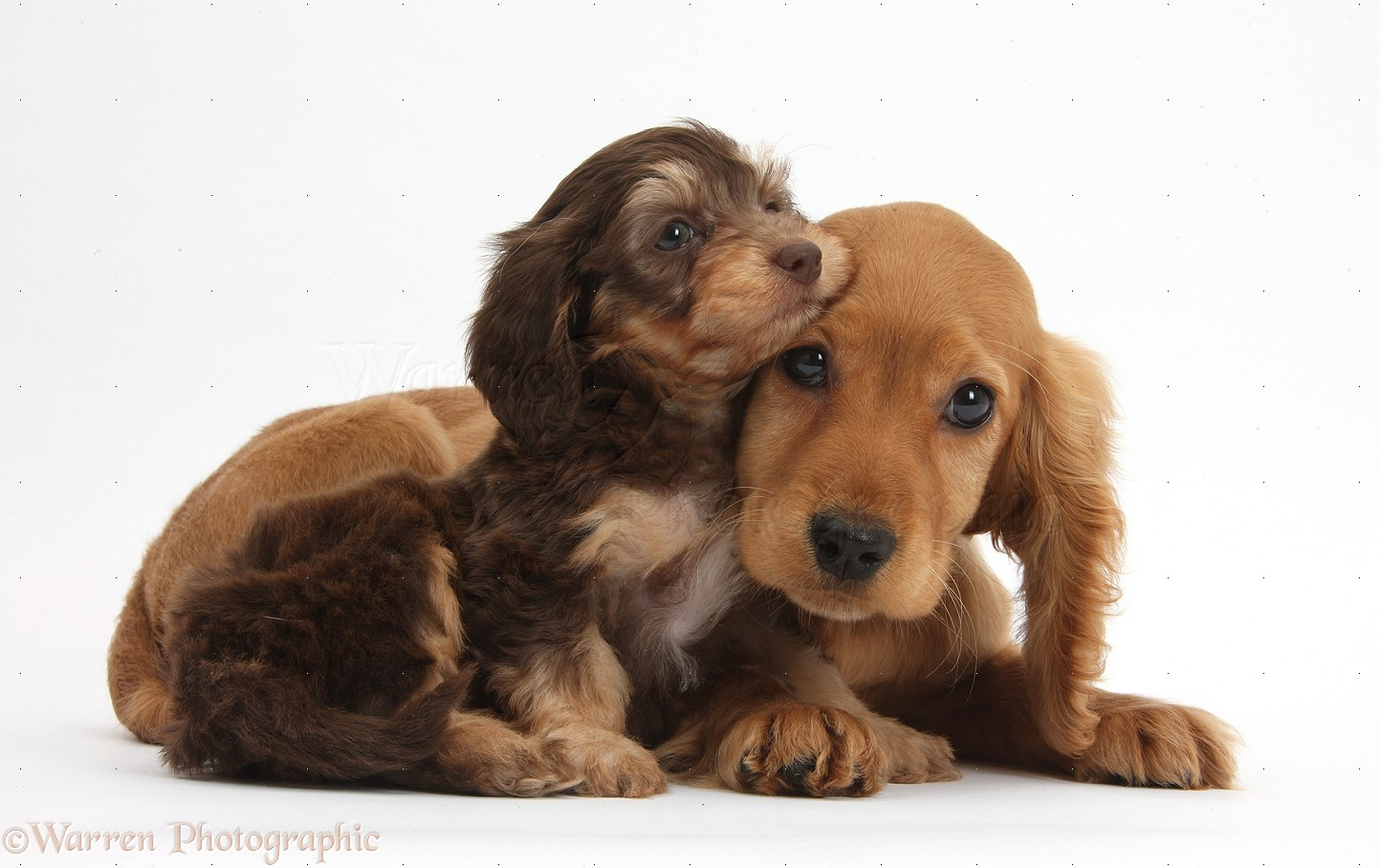 Cute Alpine Spaniel Puppies: Cute Cute Dogs And Puppies Breed