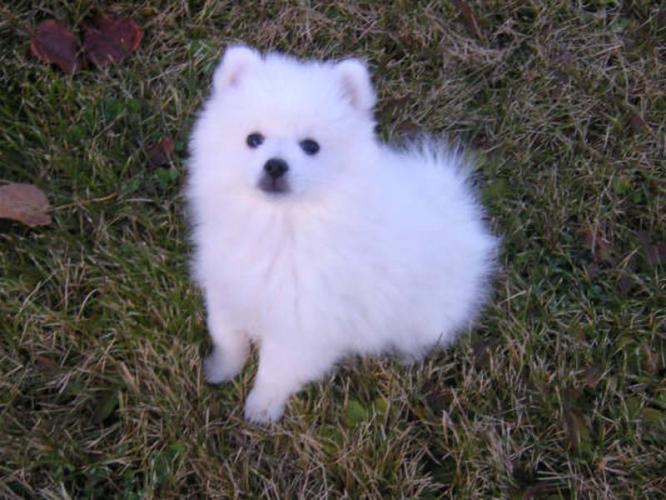 Cute American Eskimo Puppies: Cute Cute Little American Eskimo Puppies Breed