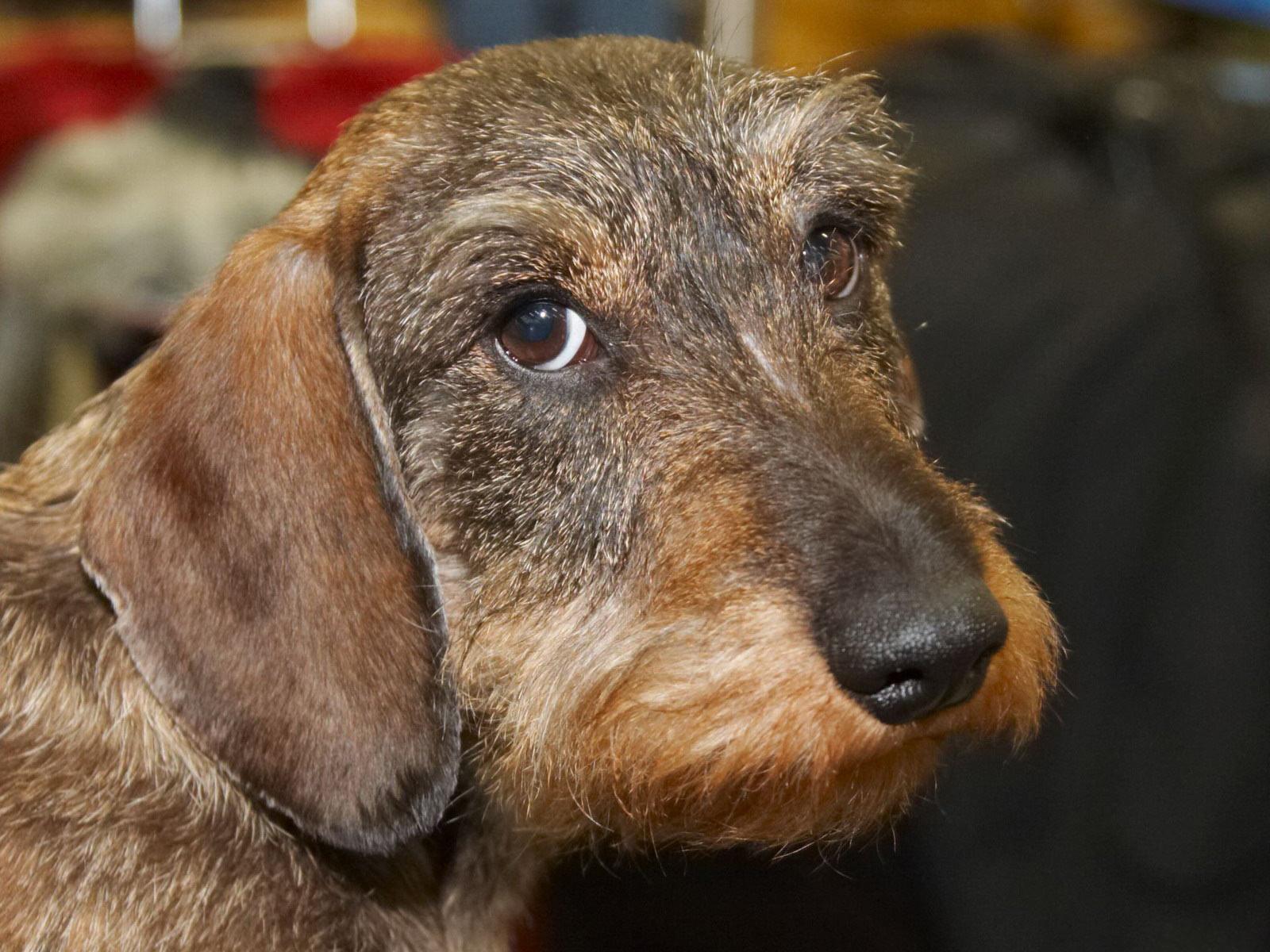 Cute Alpine Dachsbracke Puppies: Cute Cute Old Alpine Dachsbracke Dog Breed
