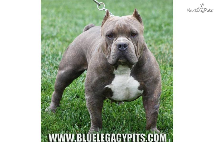 Cute American Pit Bull Terrier Puppies: Cute Cute Pit Bull Terrier Puppies Pets Home Breed