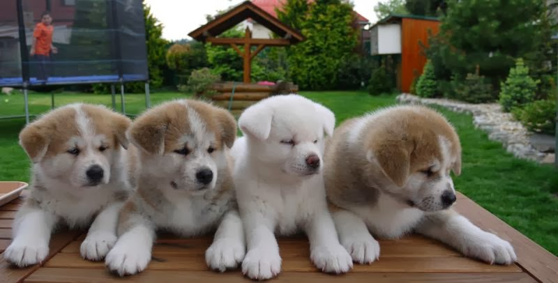 Cute American Akita Puppies: Cute Cute Puppies And Dogs S Breed