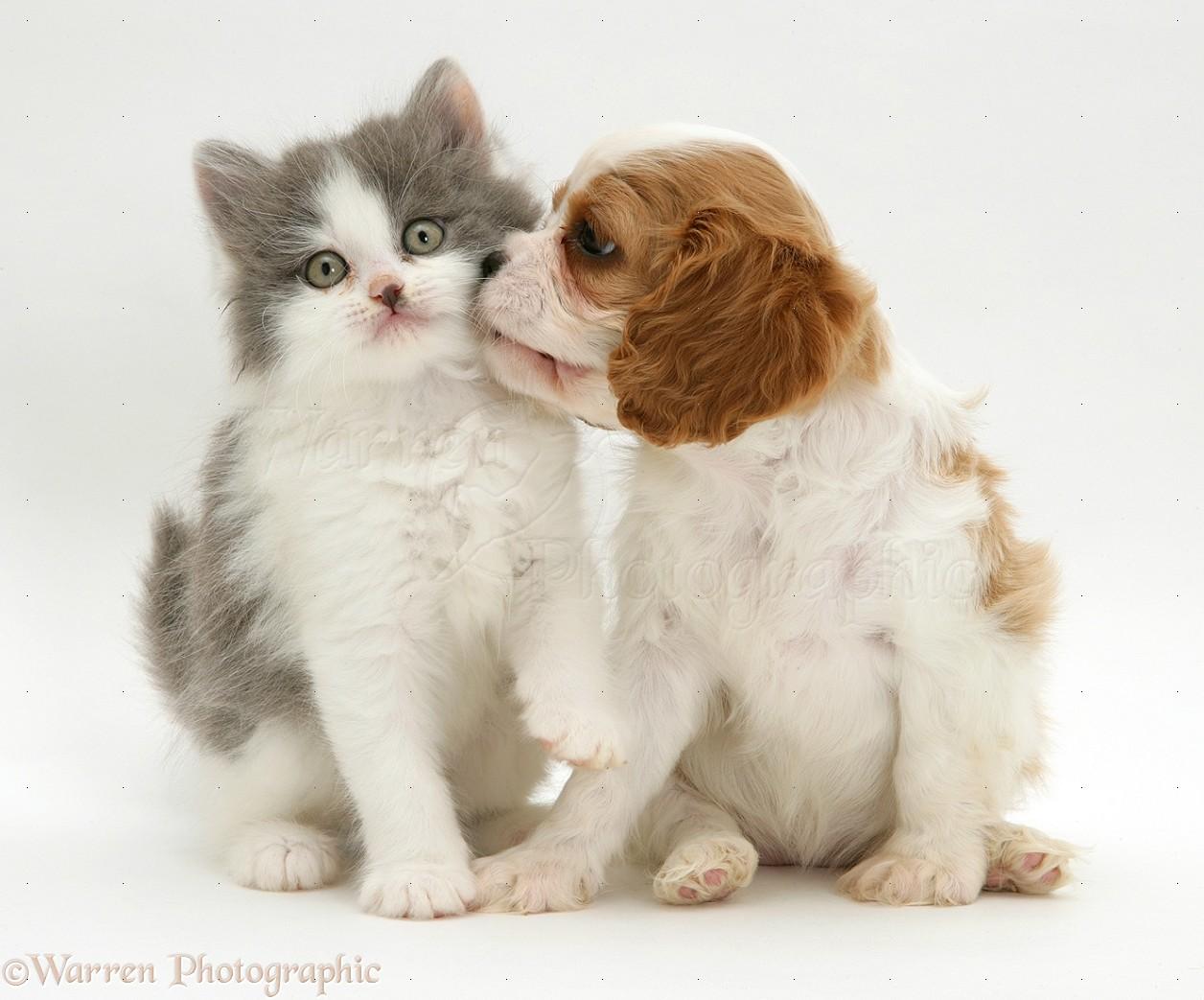 Cute Alpine Spaniel Puppies: Cute Cute Puppies And Kittens Kissing Breed