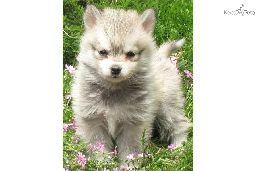 Cute Alaskan Klee Kai Puppies: Cute Dae Ed Breed
