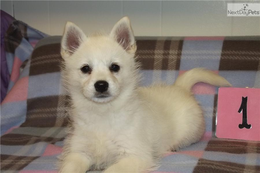 Cute Alaskan Klee Kai Puppies: Cute Df B Breed