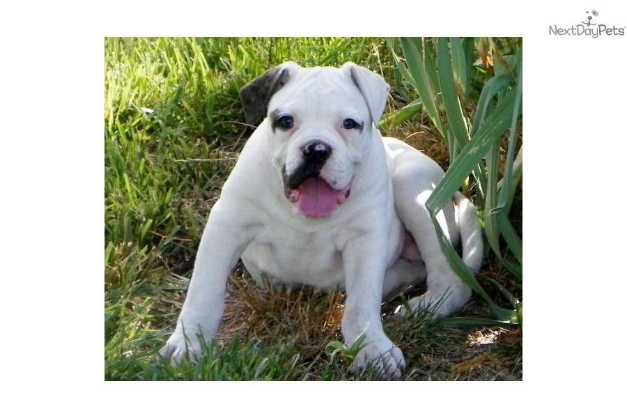 Cute American Bulldog Puppies: Cute Dgicdplfpvka Breed