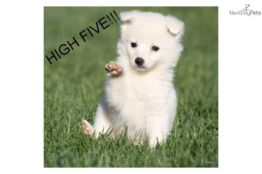 Cute American Eskimo Puppies: Cute Eb Db Breed