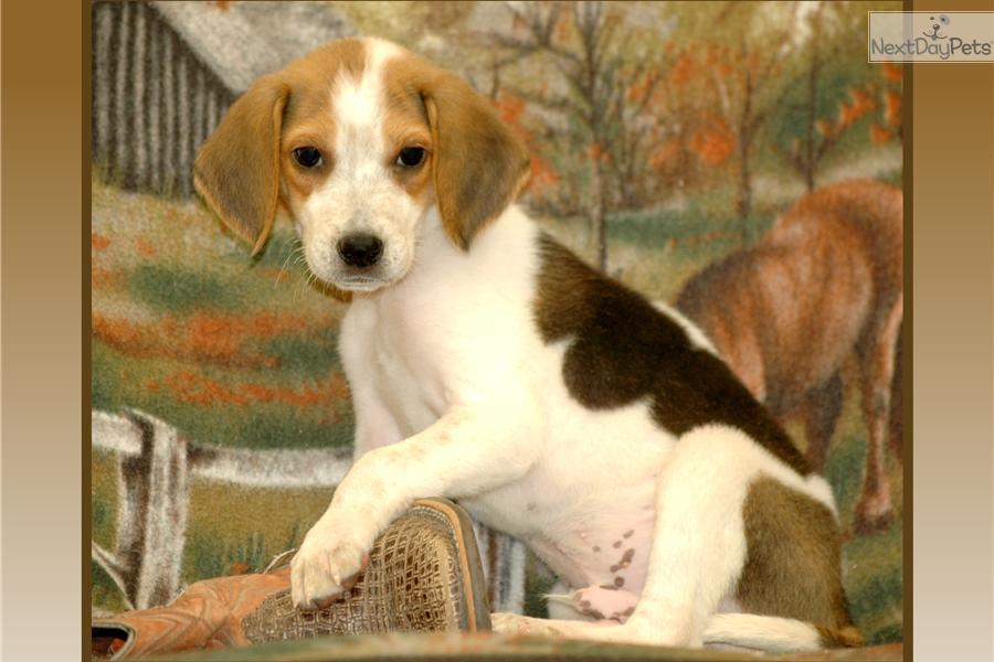 Cute American Foxhound Puppies: Cute Ebeea Ca Breed