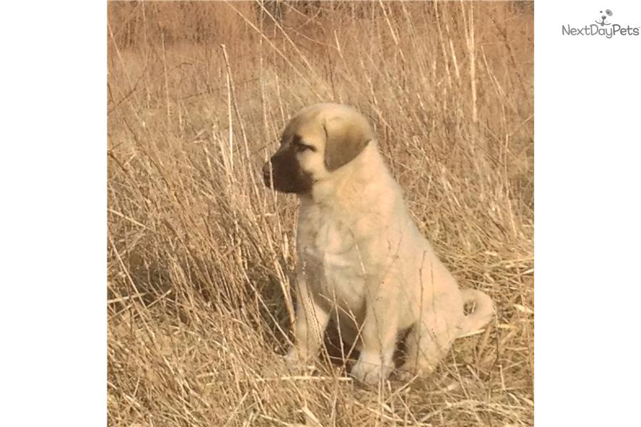 Cute Anatolian Shepherd Puppies: Cute F Bd Breed