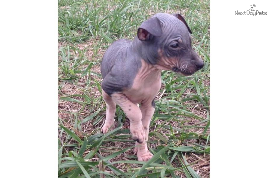 Cute American Hairless Terrier Puppies: Cute F Breed