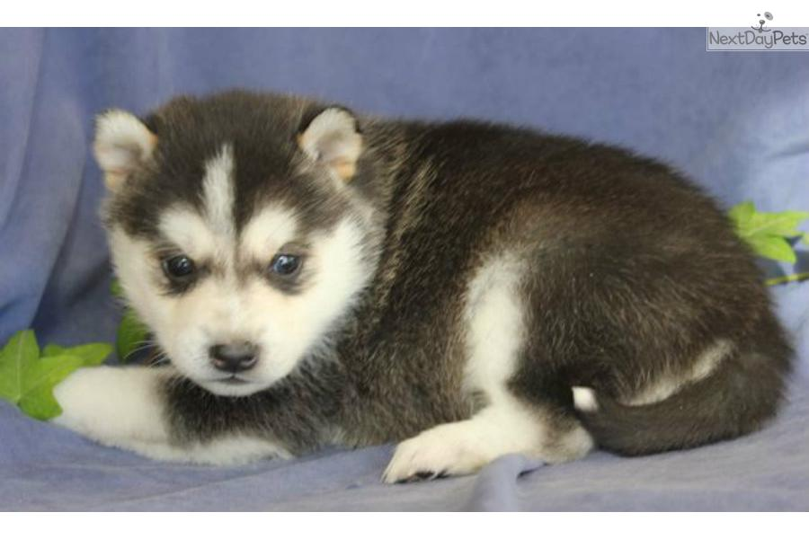 Cute Alaskan Klee Kai Puppies: Cute Fbeb C Breed