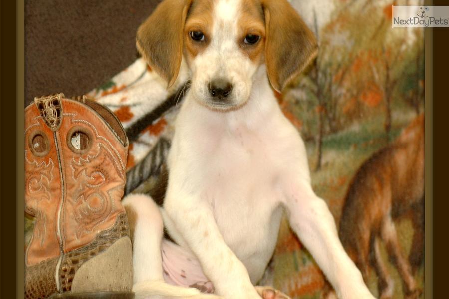 Cute American Foxhound Puppies: Cute Fce Breed