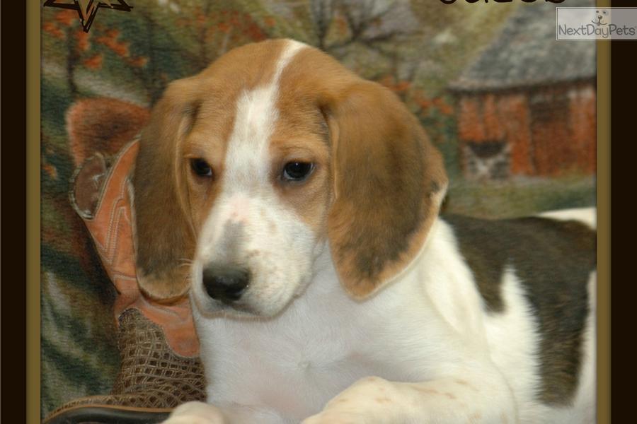 Cute American Foxhound Puppies: Cute Fdec Ba Breed