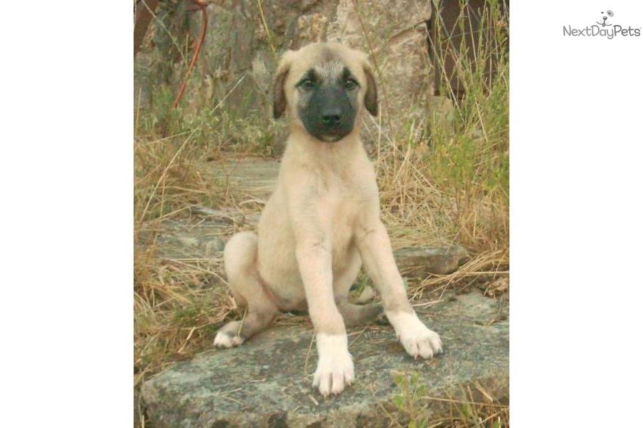 Cute Anatolian Shepherd Puppies: Cute Fdfd Breed