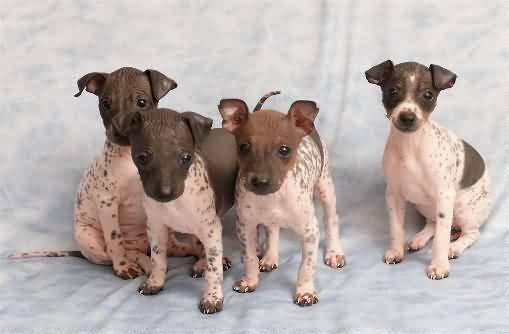 Cute American Hairless Terrier Puppies: Cute Four Cute American Hairless Terrier Puppy Breed