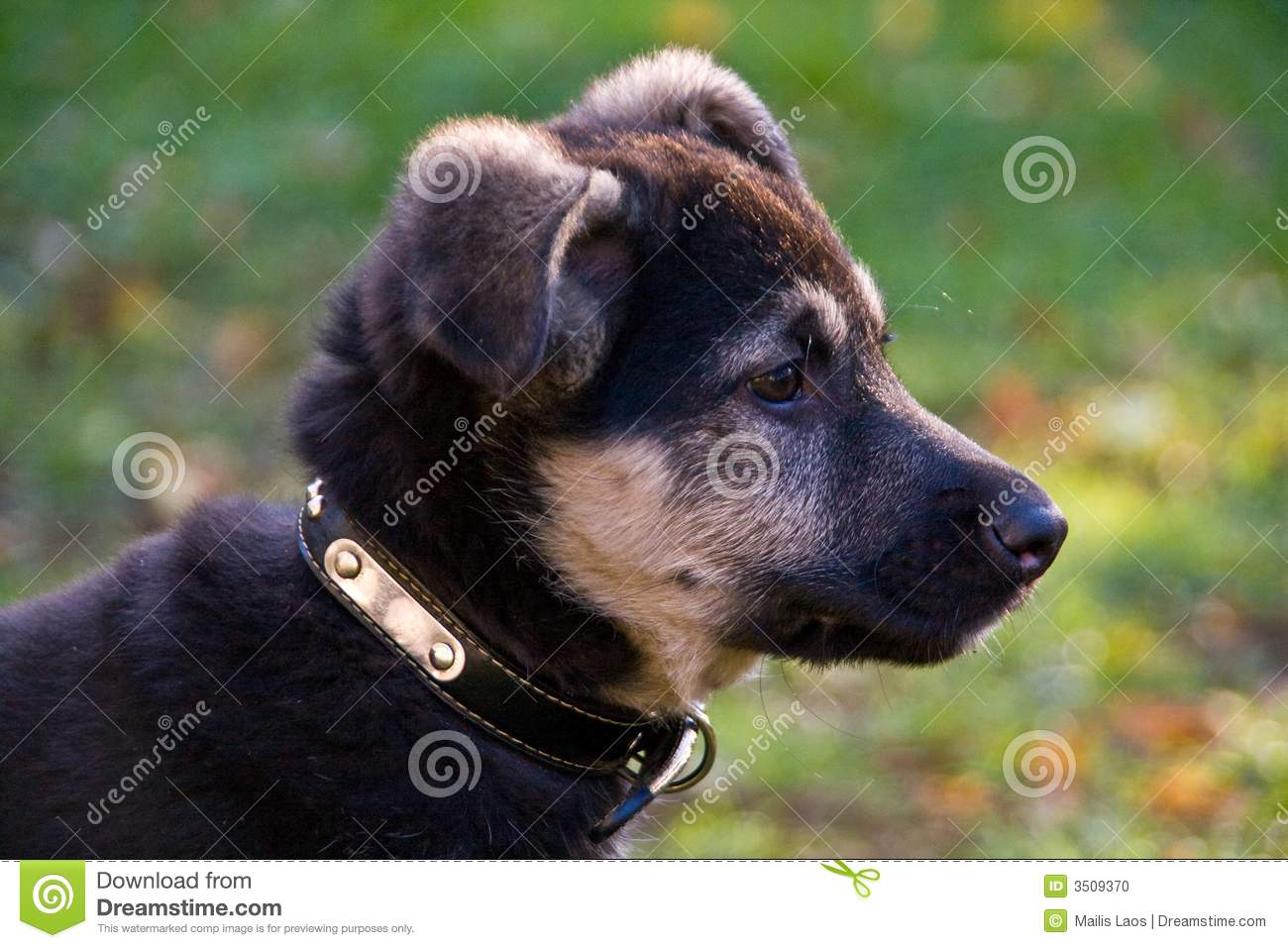 Cute Afghan Shepherd Puppies Puppy Dog Gallery