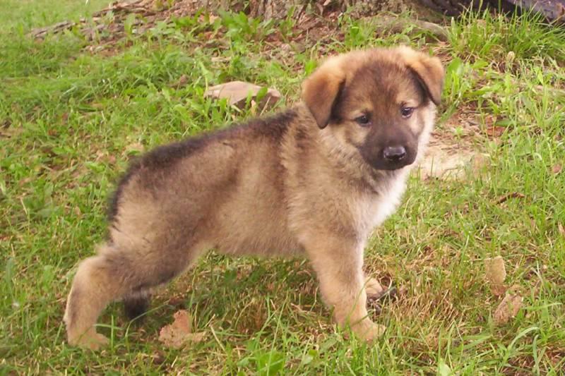 Cute Afghan Shepherd Puppies: Cute German Shepherd Puppy Breed
