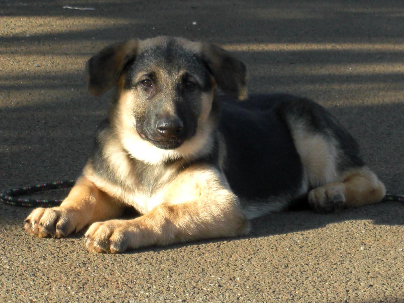 Cute Afghan Shepherd Puppies: Cute German Shepherd Puppy W Breed
