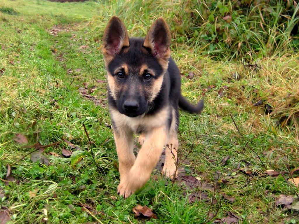 Cute Afghan Shepherd Puppies: Cute German Shepherd Puppyw Breed