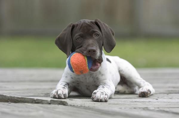 Cute Armenian Gampr Puppies: Cute German Shorthaired Pointer Breed