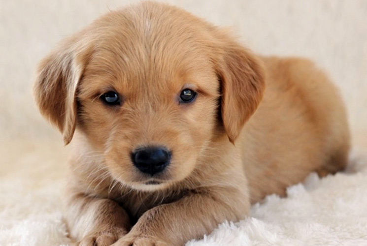 Cute Akbash Puppies: Cute Golden Retriever Breed