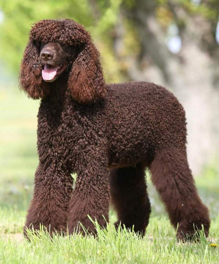 Cute American Water Spaniel Puppies: Cute Irish Water Spaniel Dog Showing His Tongue Puppies Breed