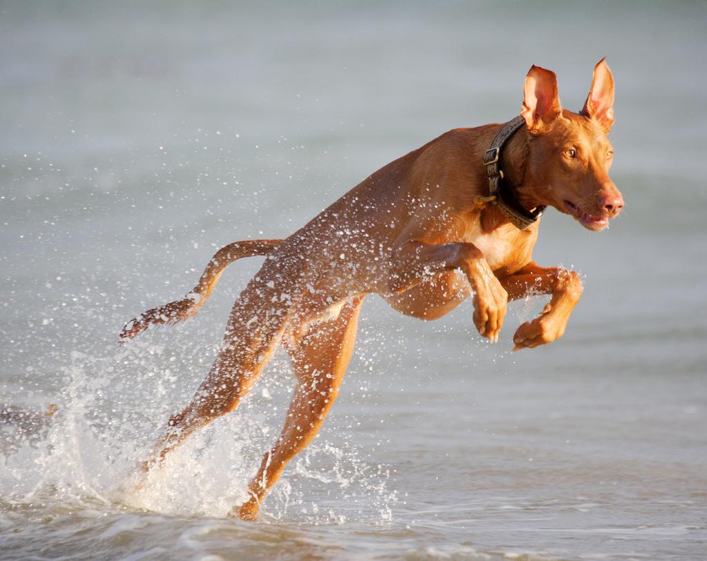 Cute Artois Hound Puppies: Cute Jumping Pharaoh Hound Breed