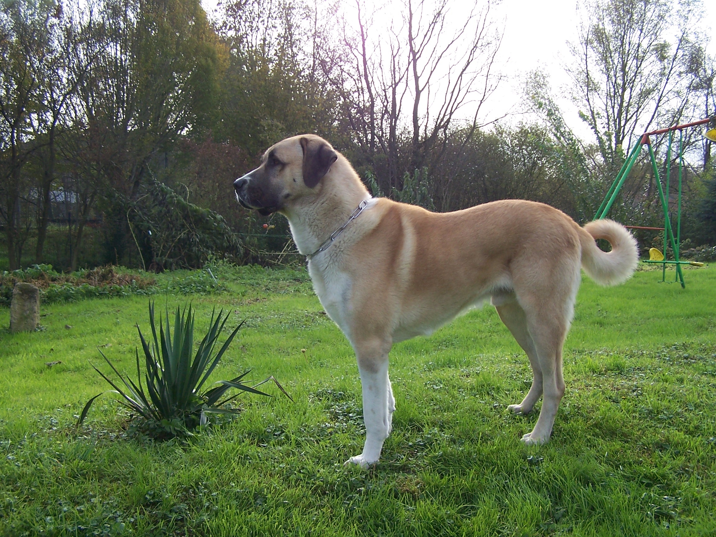 Cute Andalusian Hound Puppies: Cute Kangal Dog Breed